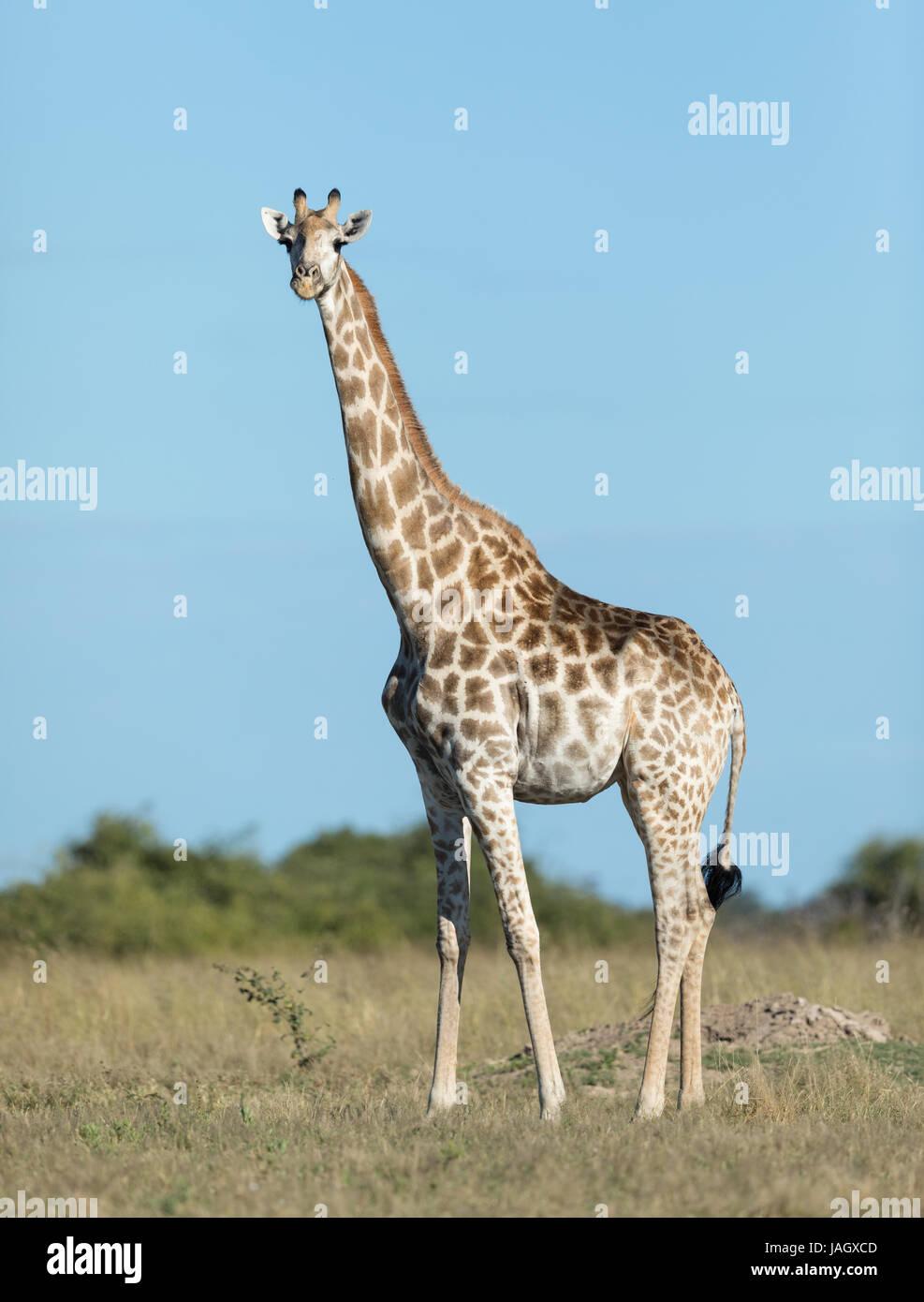 Female Southern Giraffe in the Savuti area of Chobe National Park in Botswana - Stock Image