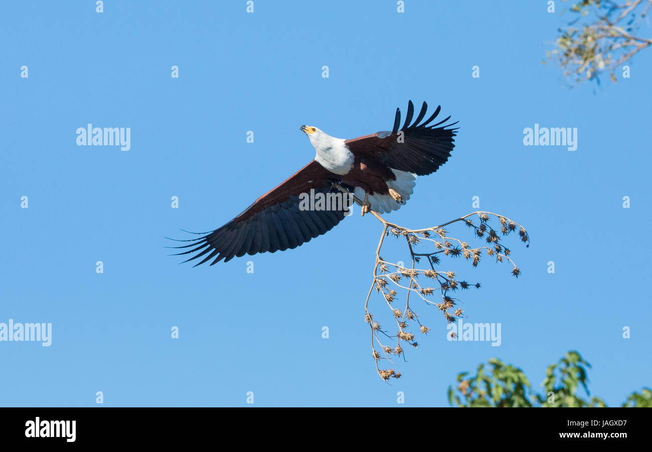 African Fish Eagle flying with nesting material, Chobe River, Botswana - Stock Image
