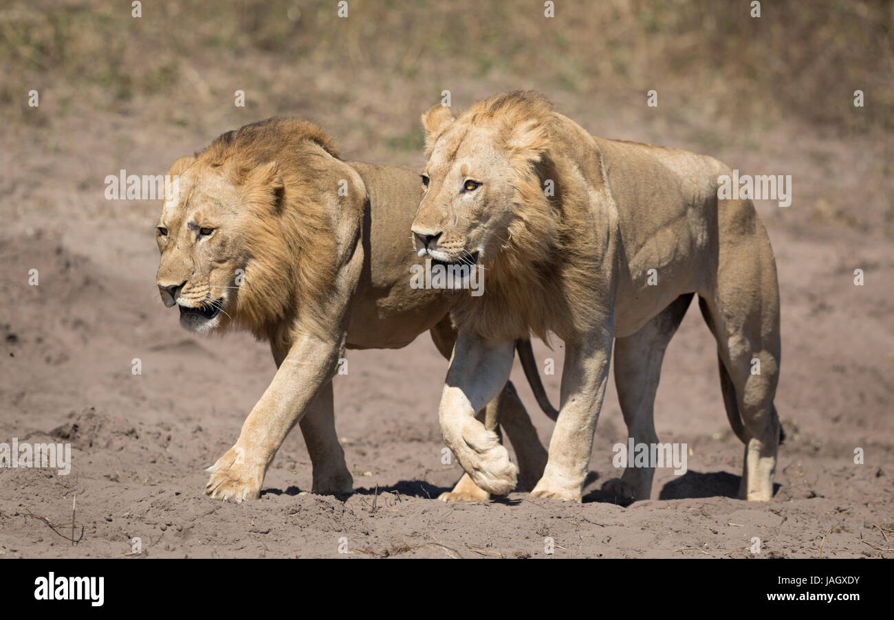 Two male African Lions walking together in the Chobe National Park in Botswana - Stock Image
