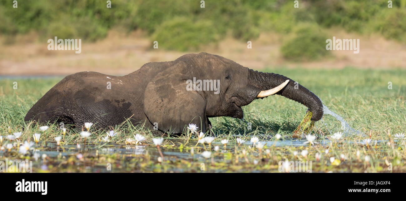 African Elephant Bull feeding on water lilies in the Chobe River, Botswana - Stock Image