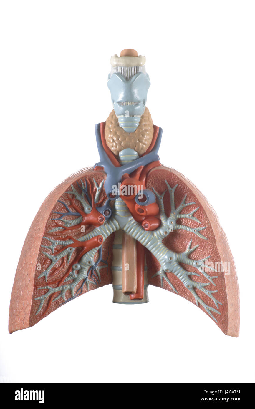 Anatomical model of the lung, - Stock Image