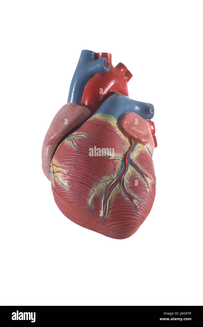 Anatomical model of the heart Stock Photo: 144201815 - Alamy