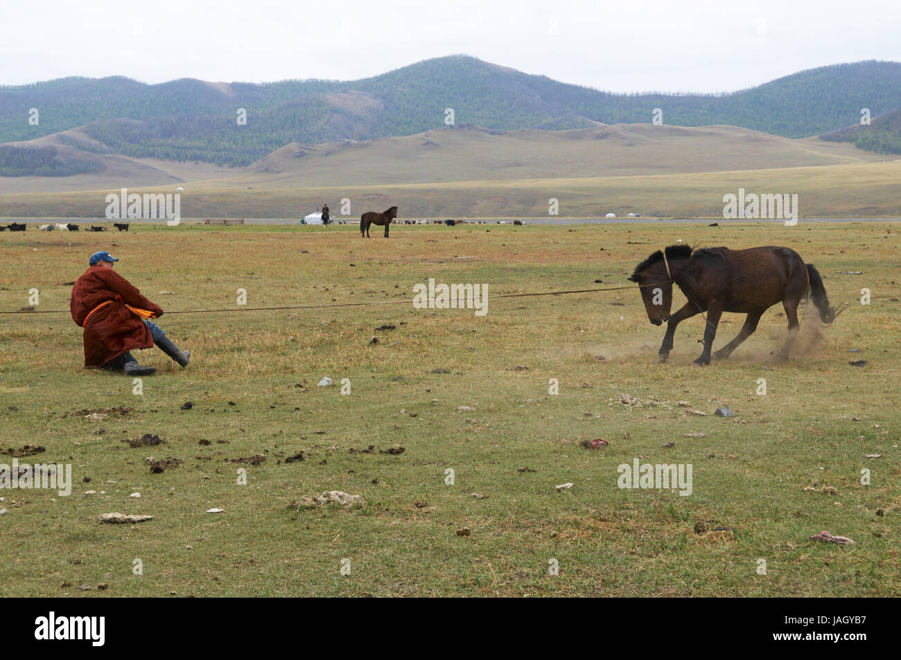 Mongolia,Central Asia,Ovorkhangai province,historical Orkhon valley,UNESCO world heritage,nomad,man,horse catch,tame, Stock Photo