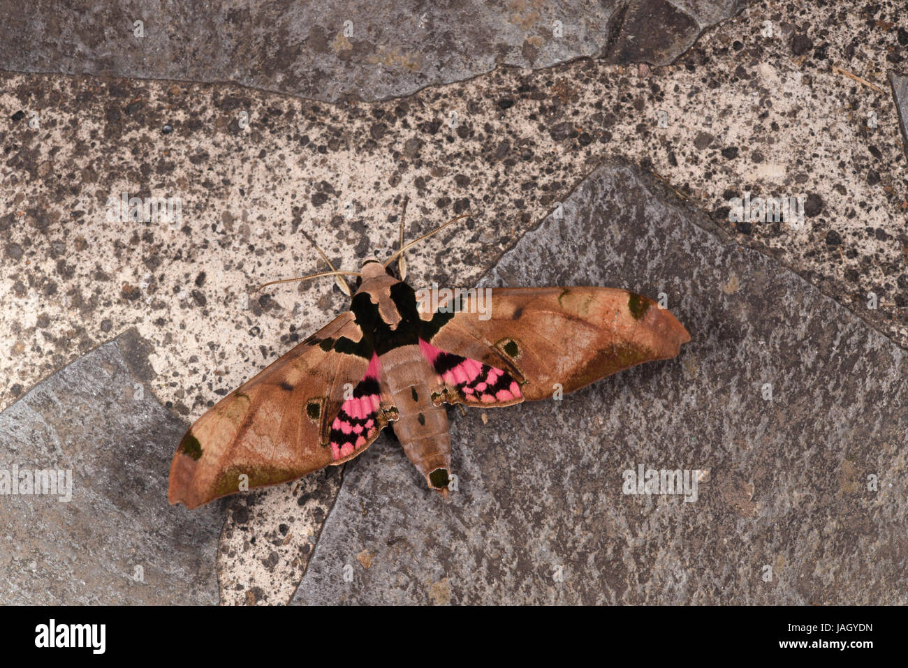 Adhemarius gannascus Hawkmoth, adult showing rear wing colours, Turrialba, Costs Rica, March - Stock Image