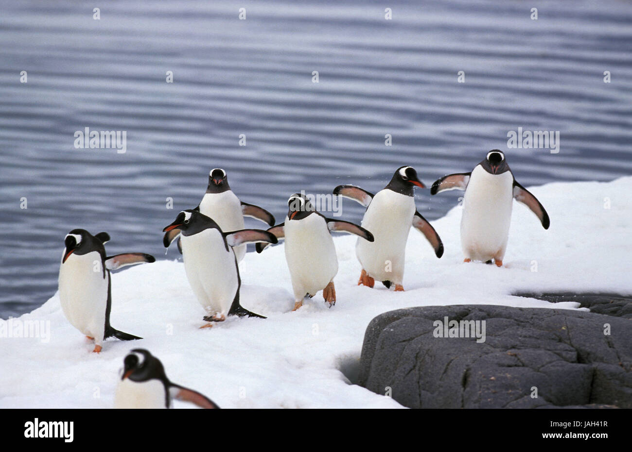 Donkey penguin,Pygoscelis Papua,group,stand,ice cover,Livingstone Island, - Stock Image