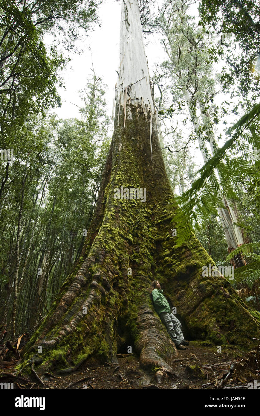 Australia,Tasmania,trees,tree giants,broad-leaved trees,Eucalyptus,Swamp Gums,Mount Field Nationwide park, - Stock Image