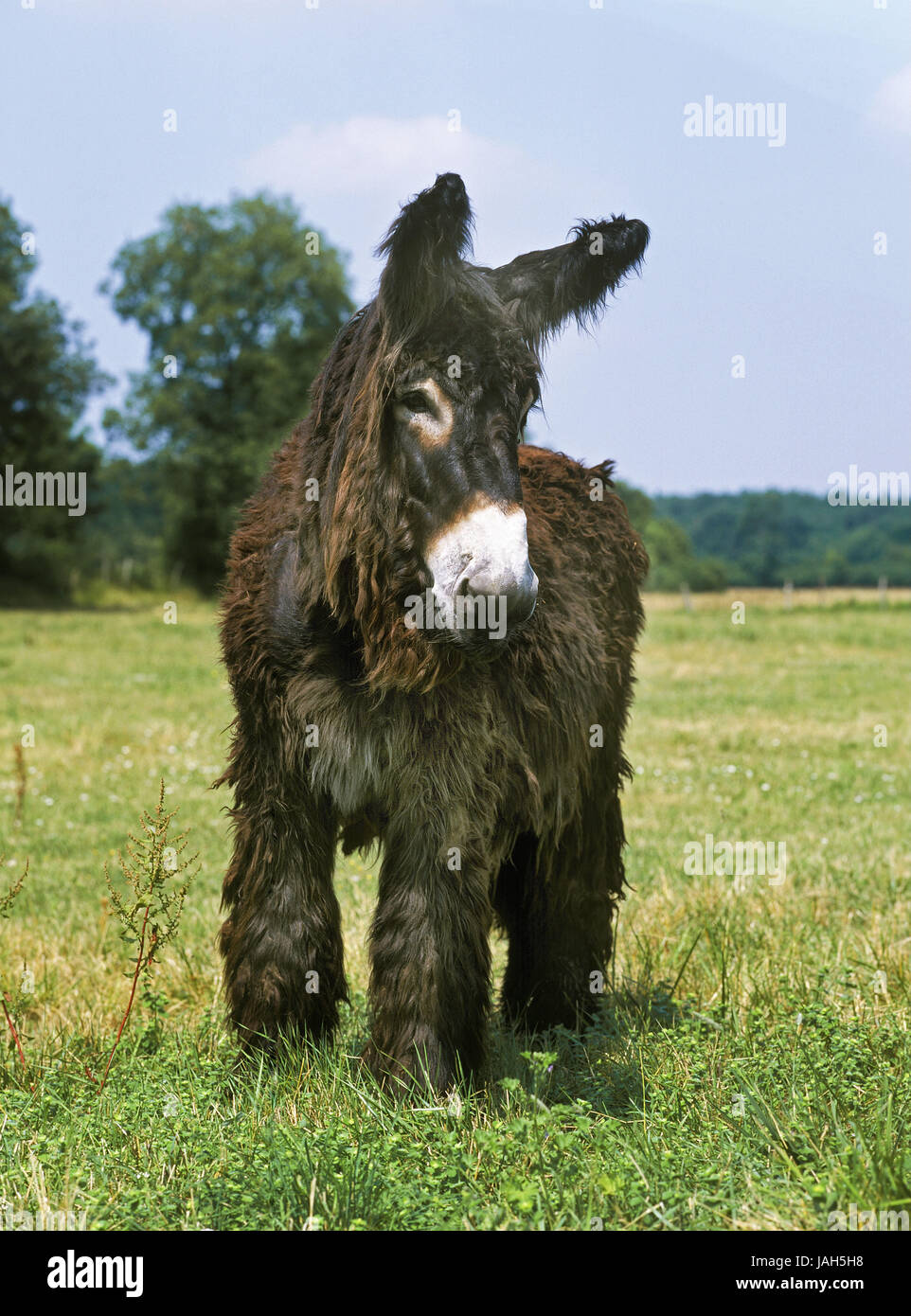Poitou donkeys or Baudet you Poitou,French race,meadow,stand, - Stock Image