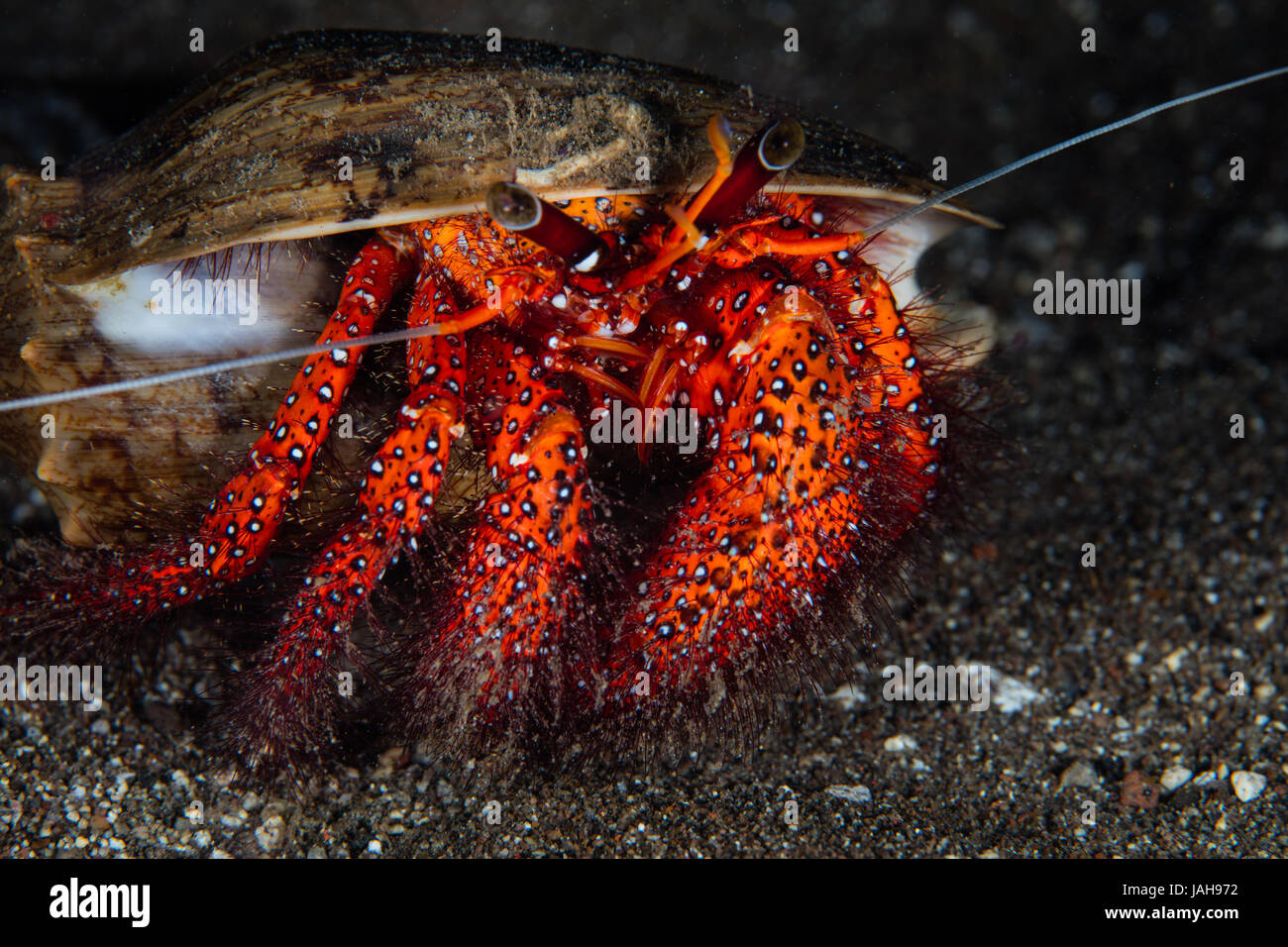 A White-spotted hermit crab crawls on the seafloor in Komodo National Park, Indonesia. This area is known for its - Stock Image