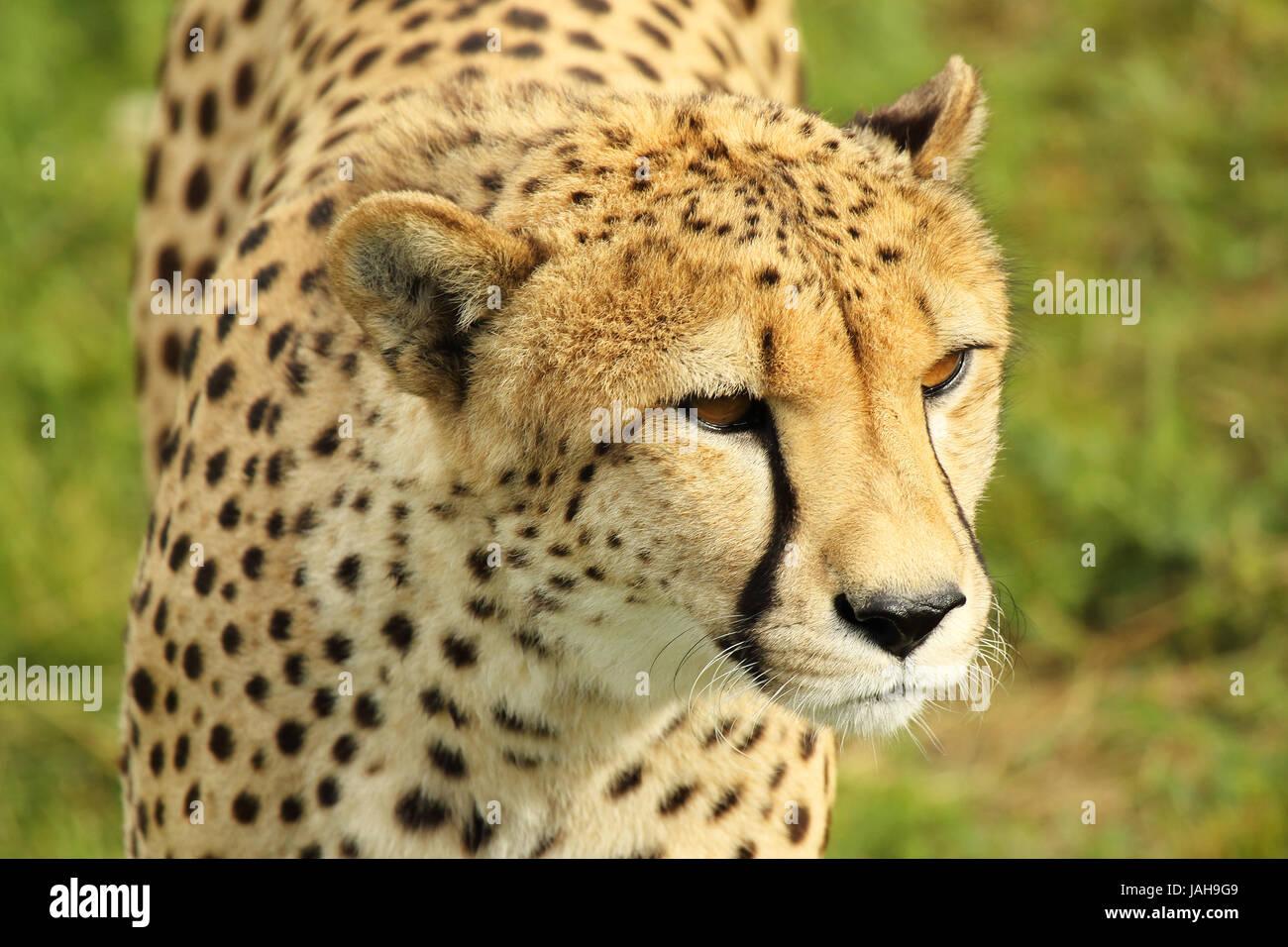 A portrait of a Cheetah giving a pugilistic gaze. - Stock Image