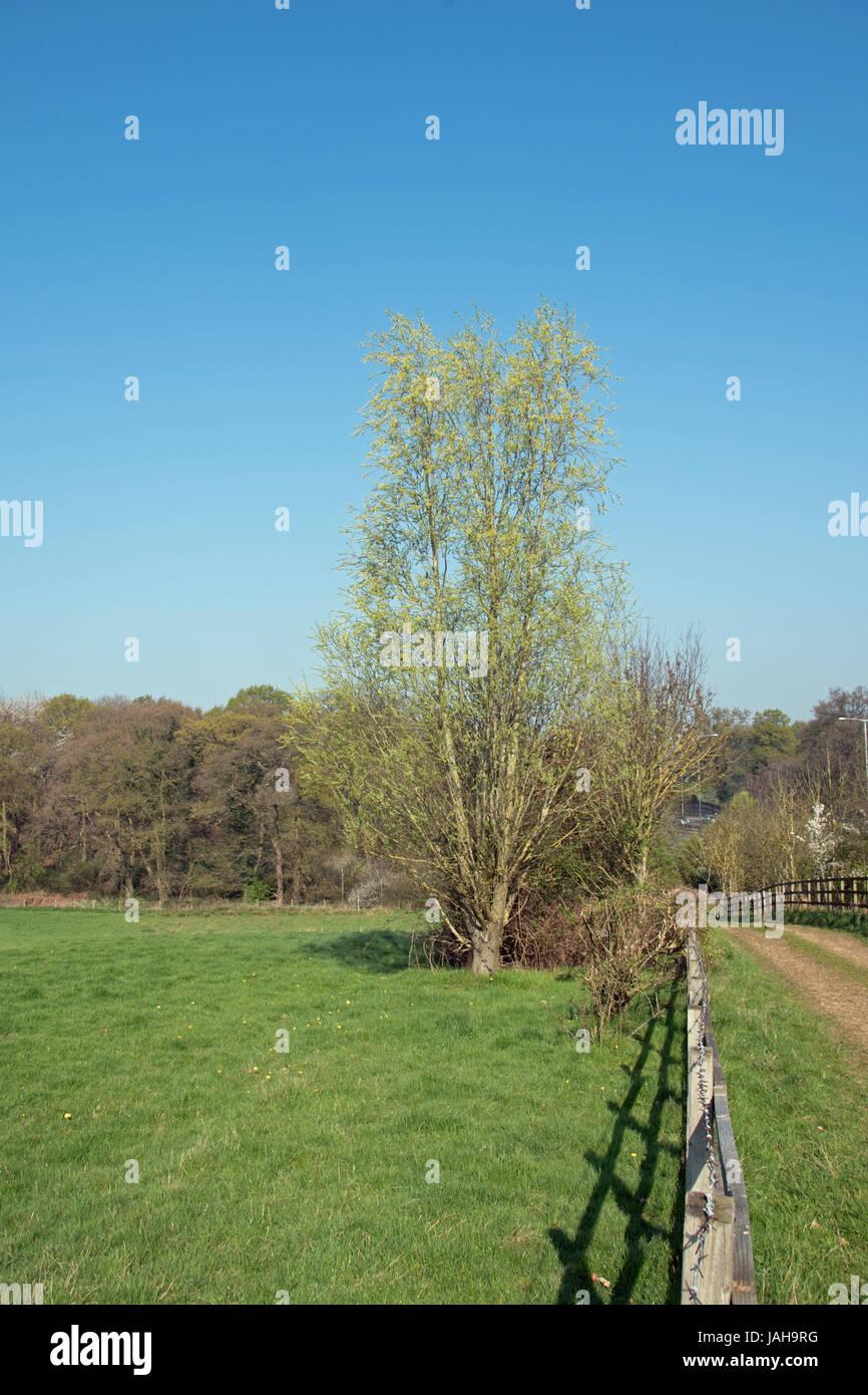 Salix osier, the common willow. Stock Photo