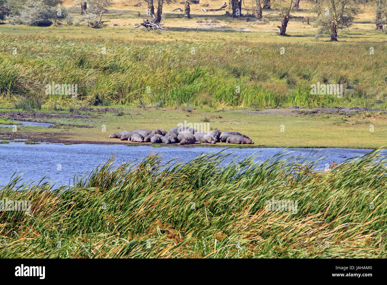 Hippos having a snooze in Taranguire National Park - Stock Image