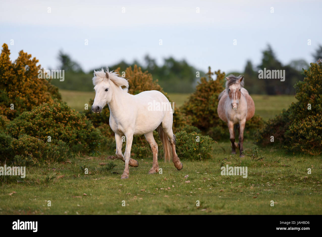 Wild New Forest ponies gallop through gorse bushes - Stock Image