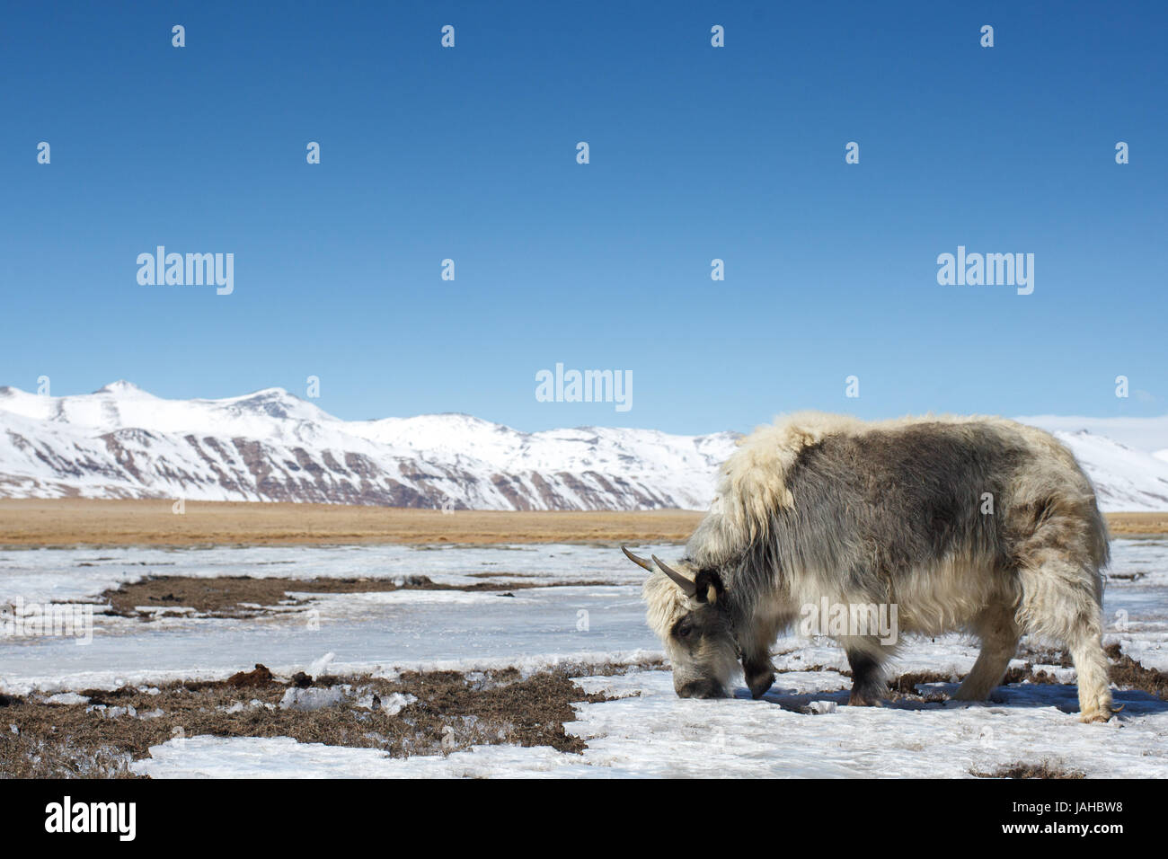 Yaks grazing on roots found amid the frozen surface of the Startsapuk Tso  lake in Ladakh - Stock Image