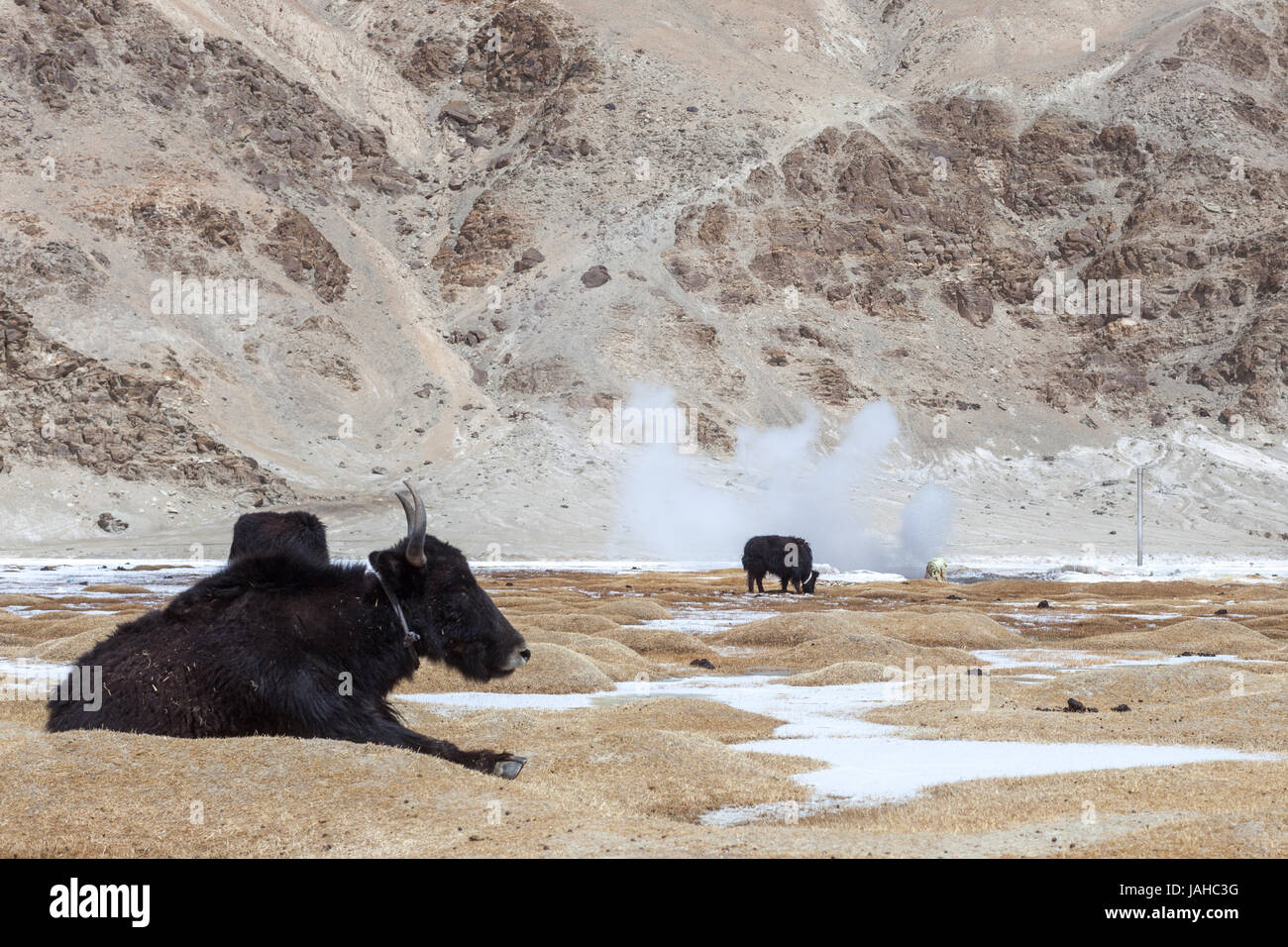 Yaks resting in the grasslands surrounding the Puga Hotsprings in Ladakh. - Stock Image