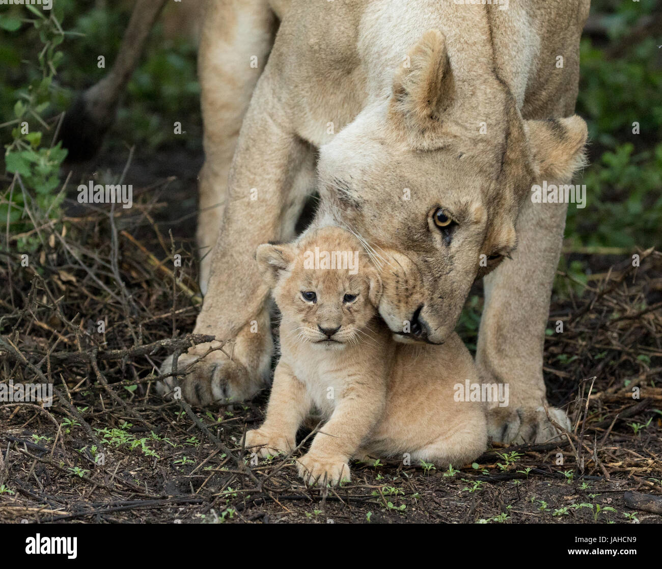 Adult Lioness picking up her small 5 week old cub, Serengeti National Park, Tanzania - Stock Image
