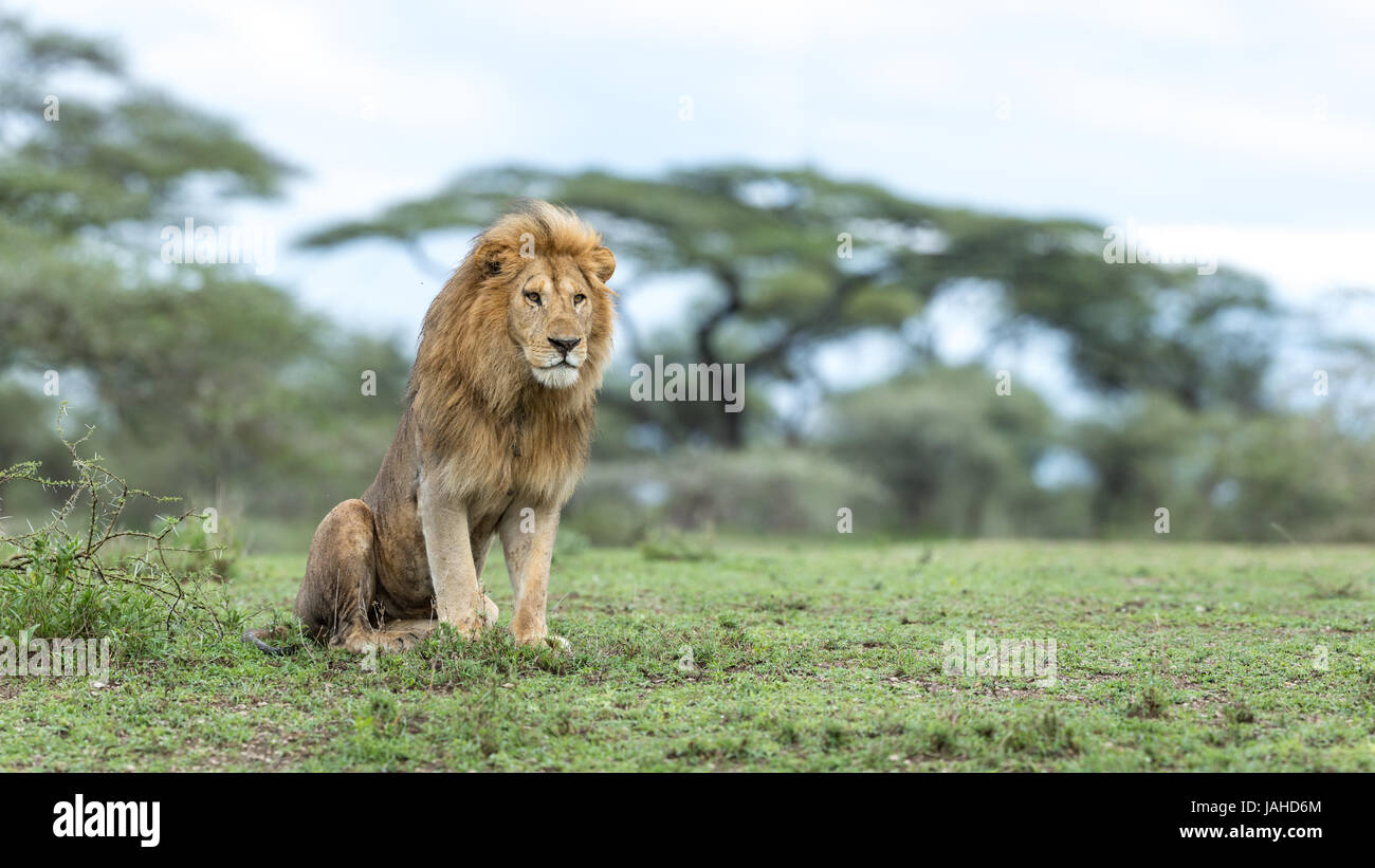 Adult male Lion sitting up in alert posture in the Ndutu area of Tanzania's Ngorongoro conservation area Stock Photo
