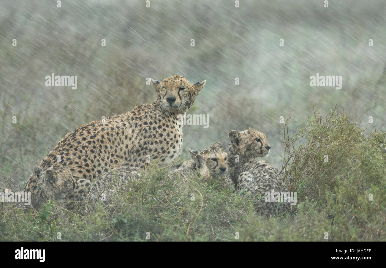 Adult female Cheetah with her small cubs in a heavy rain storm. Tanzania's Serengeti national Park - Stock Image