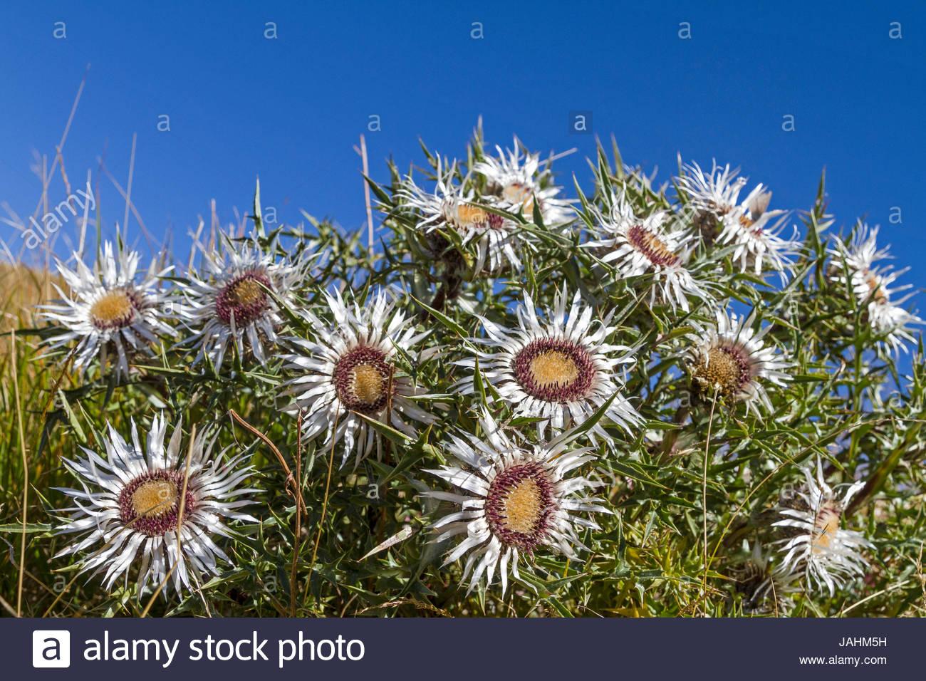 Silberdisteln sind auf vielen hochgelegenen Wiesen der Abruzze4n zu finden Stock Photo