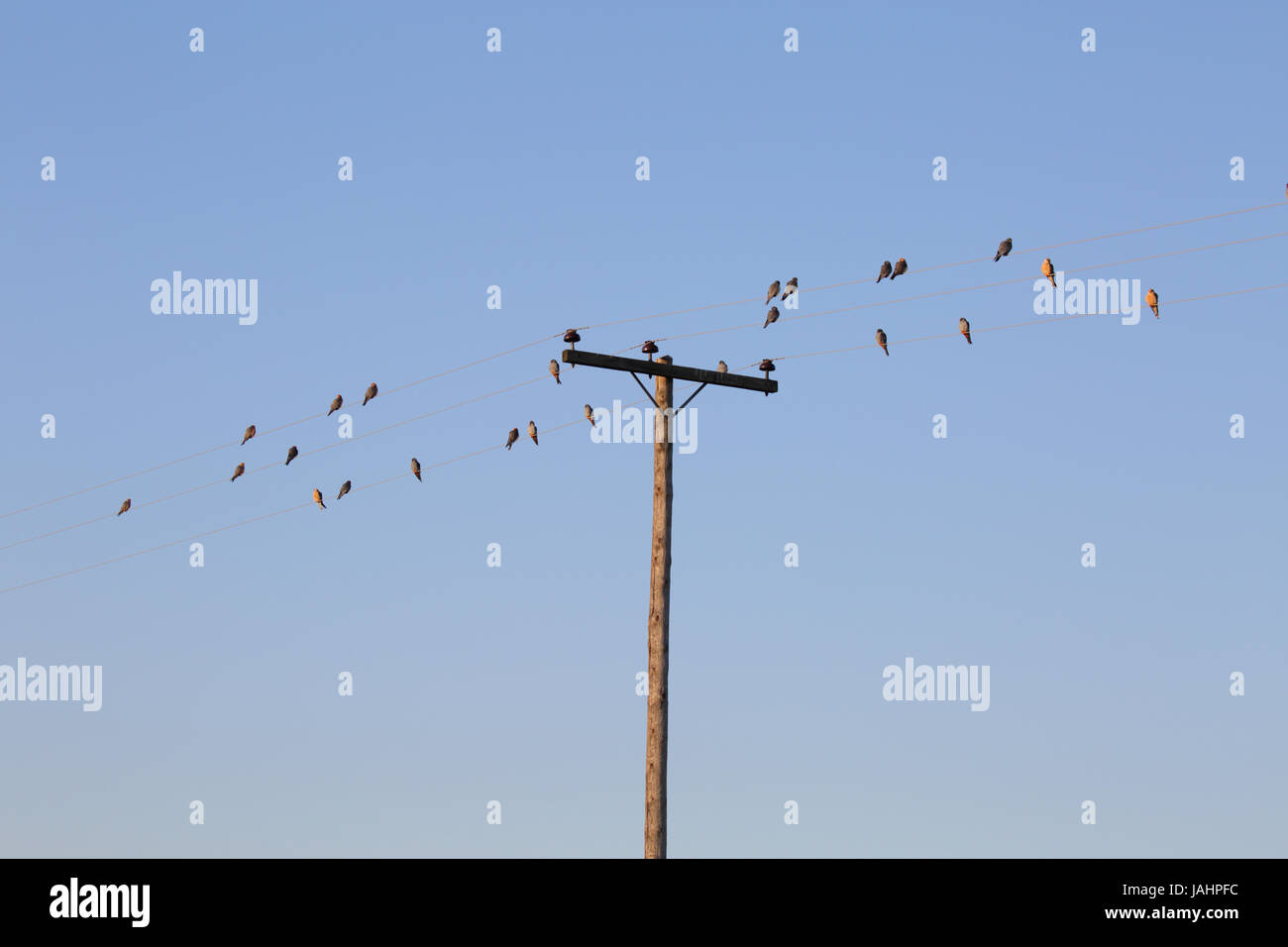 A group of male and female Red-footed Falcons (Falco vespertinus ...