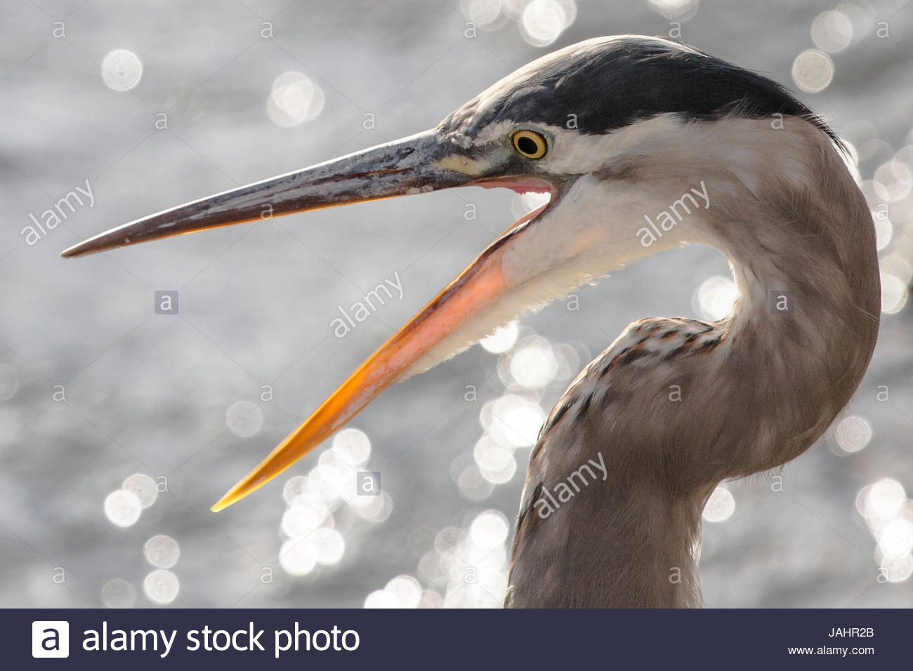 Close up portrait of a great blue heron, Ardea herodias, with its beak open. - Stock Image