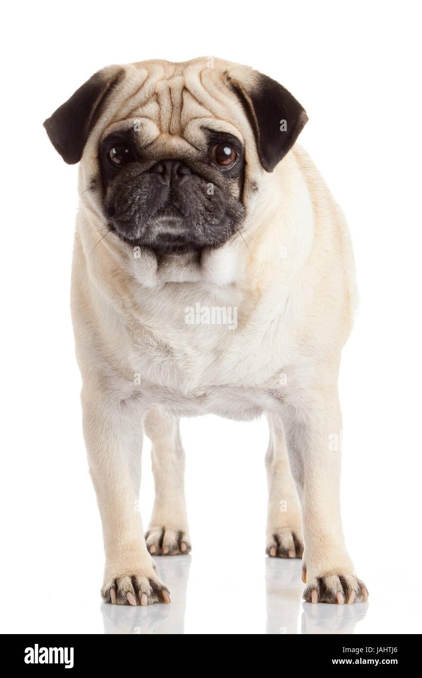 pug dog isolated on a white background - Stock Image