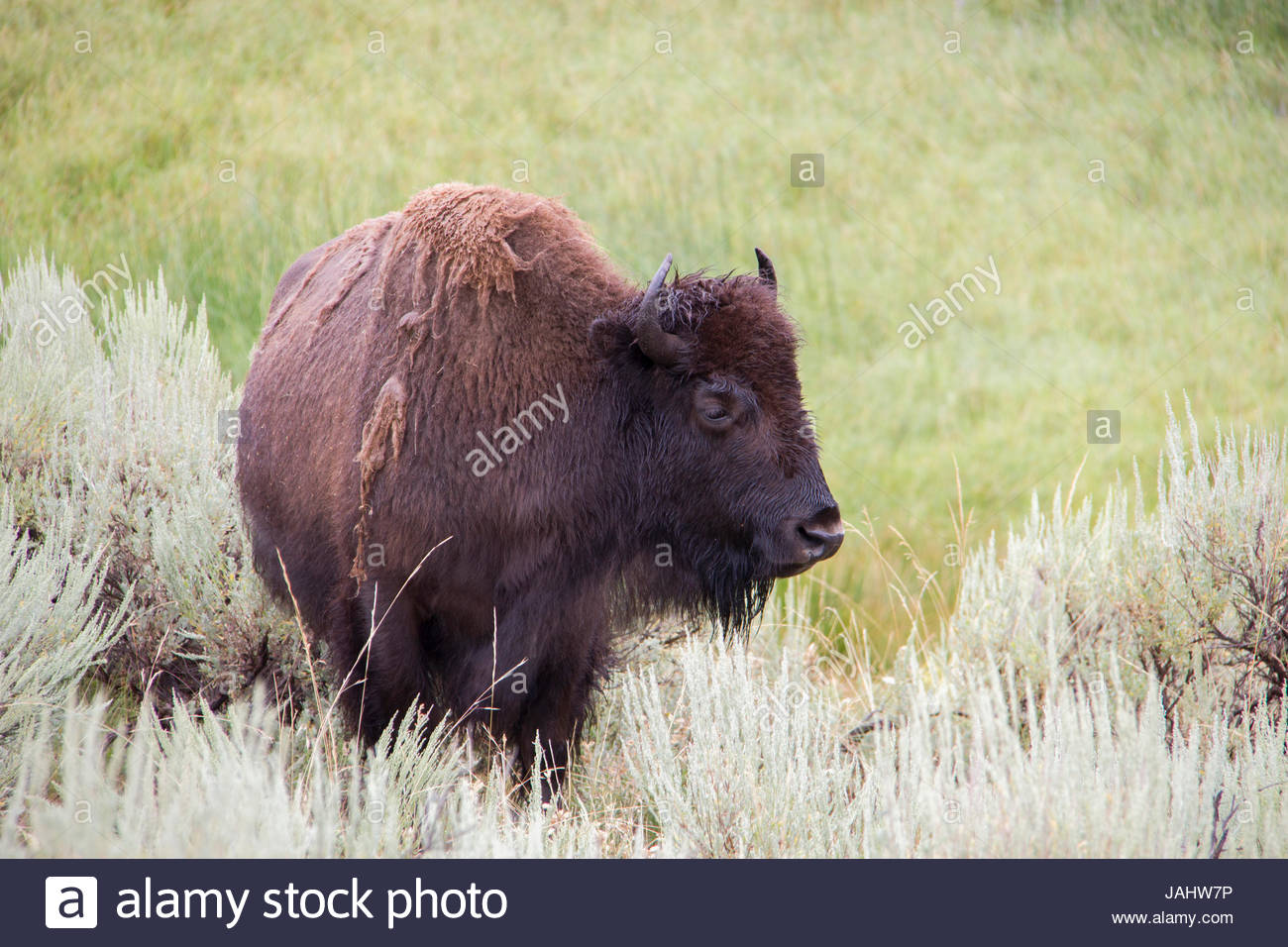 Portrait of a bison in the Lamar Valley. Stock Photo