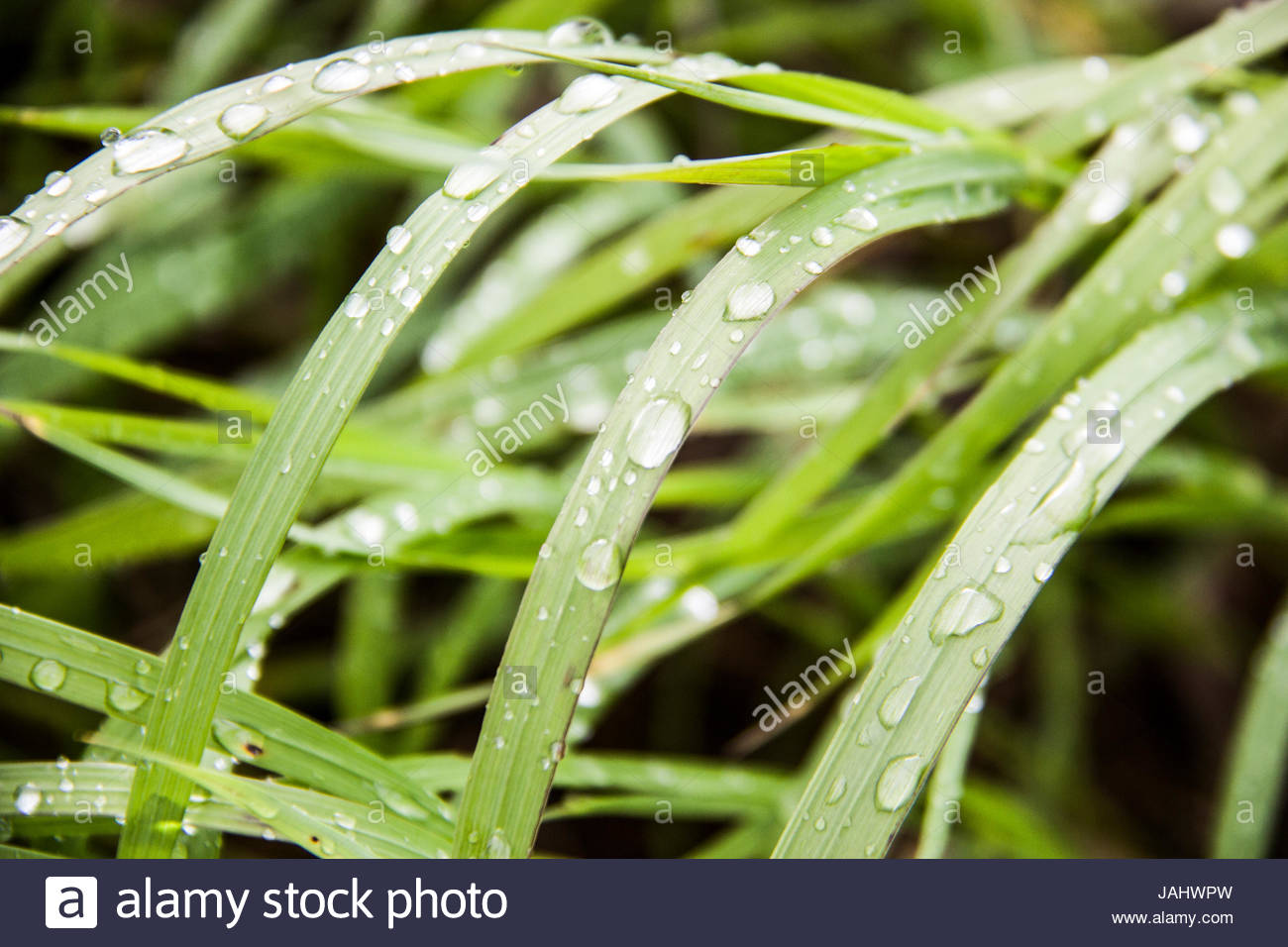 Wet blades of grass. - Stock Image