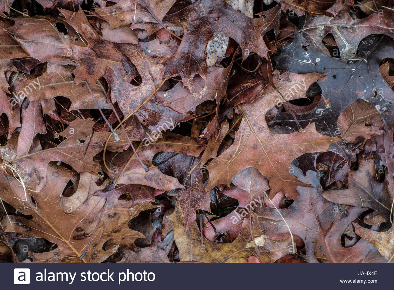 A pile of damp oak leaves in a yard, in winter. - Stock Image