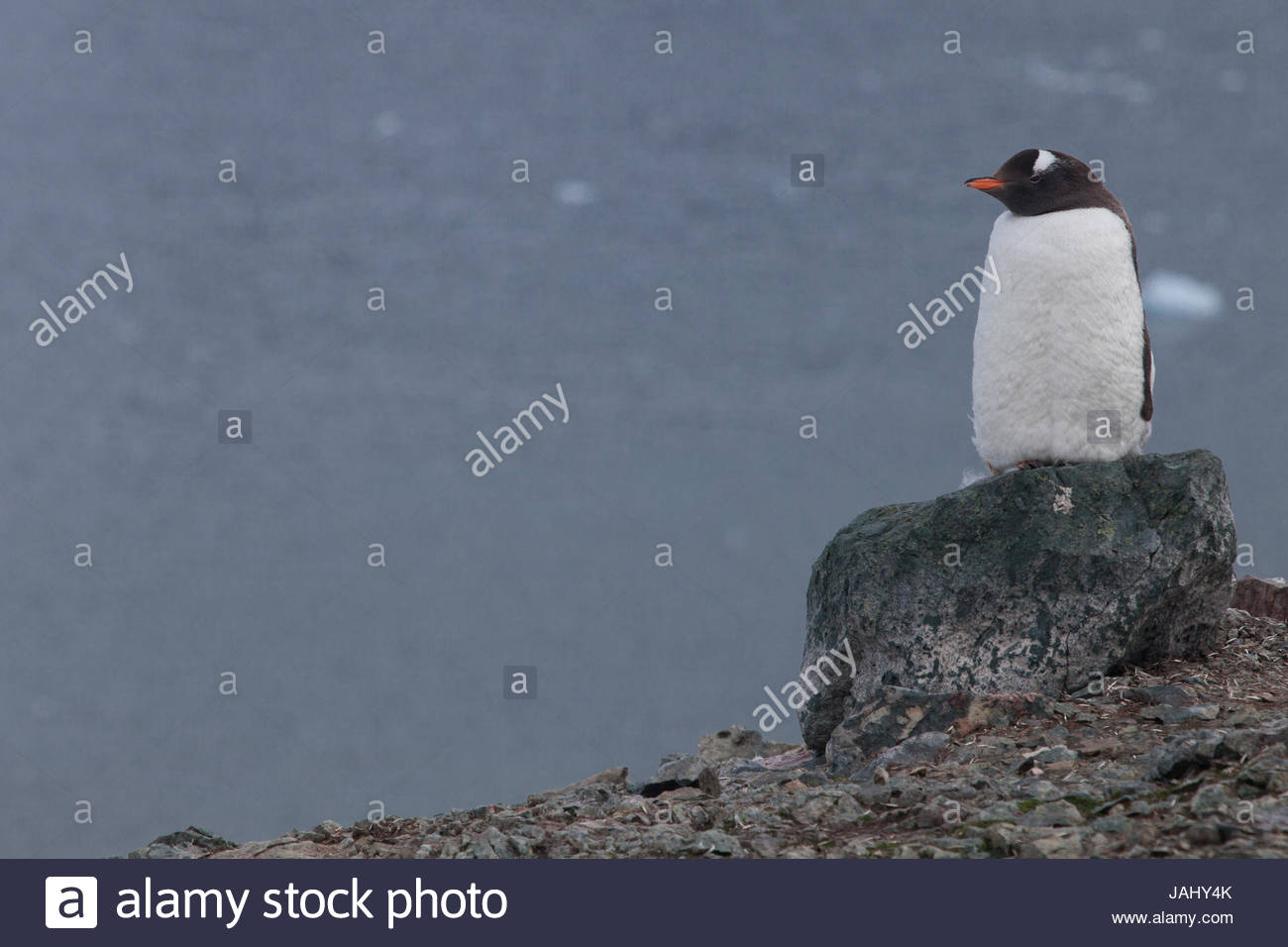 A gentoo penguin, Pygoscelis papua, perched atop a rock in the rookery on Danco Island. - Stock Image