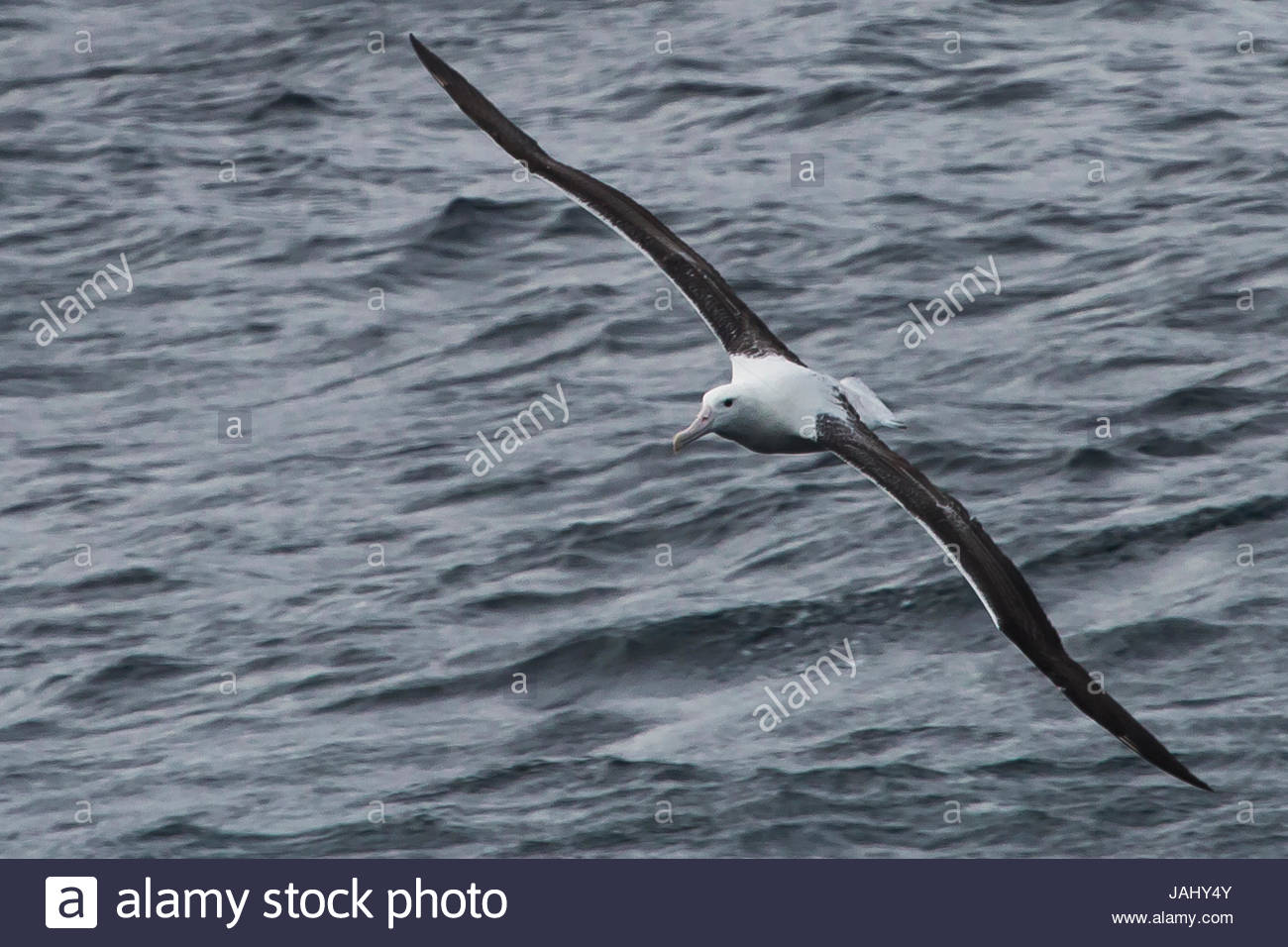 A portrait of a wandering albatross, Diomedea exulans, in flight over water. - Stock Image