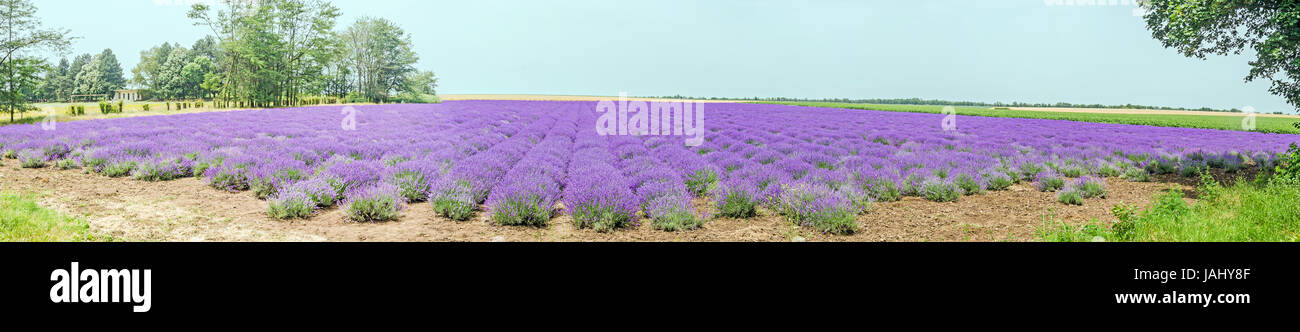 Field of mauve, purple Lavandula angustifolia, lavender, most commonly True Lavender or English lavender, garden Stock Photo