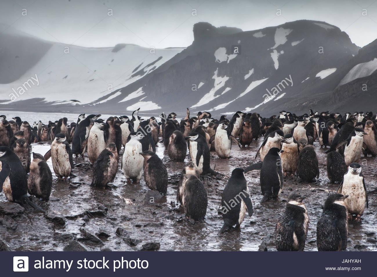 Gentoo penguins, Pygoscelis papua, in their very messy rookery on a mountainous coast. - Stock Image