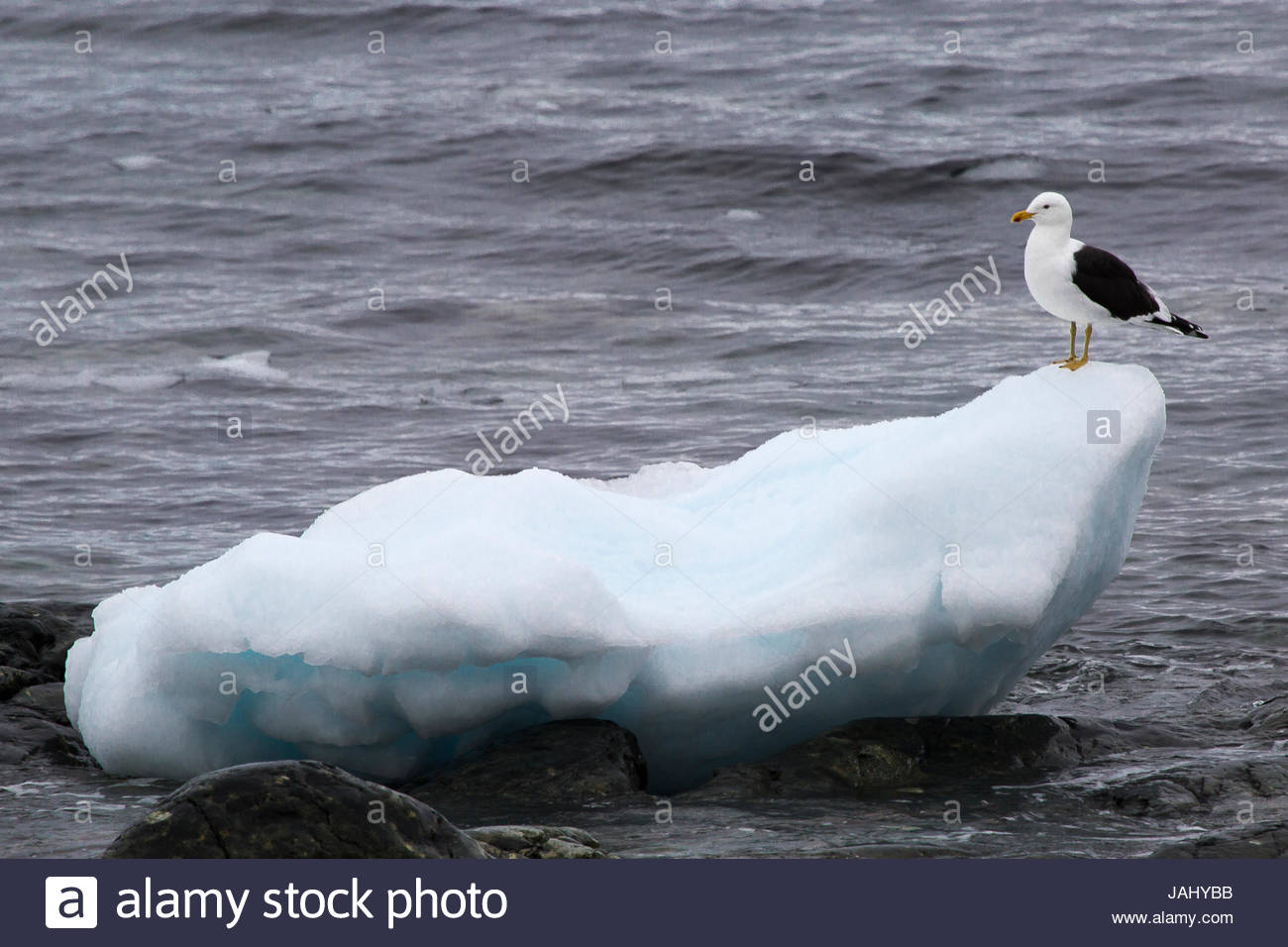 A kelp gull, Larus dominicanus, perched on an ice floe at Cuverville Island, Antarctica. - Stock Image