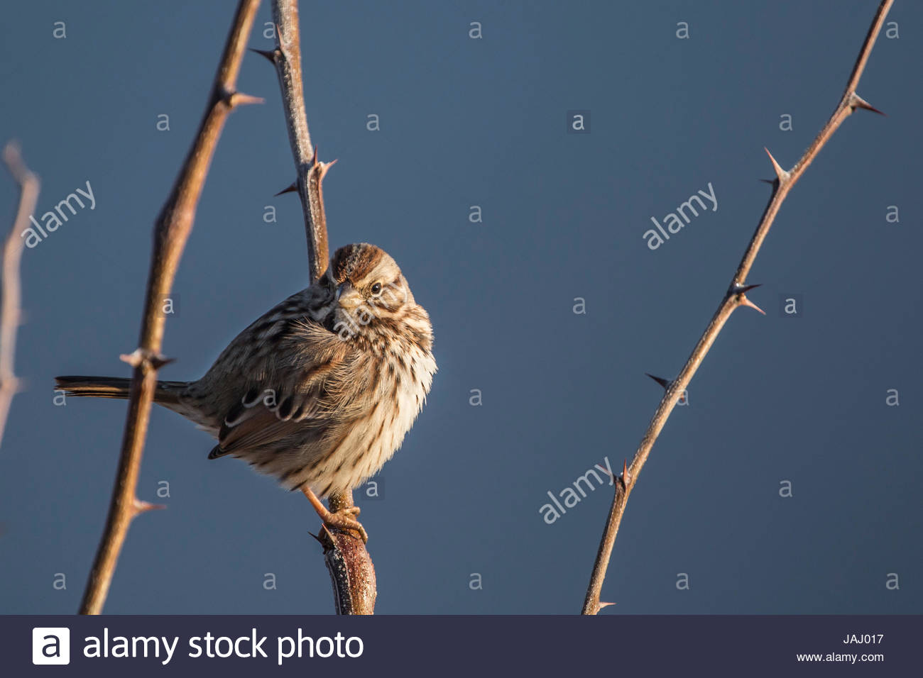 Portrait of a song sparrow, Melospiza melodia, perched on a thorny twig. - Stock Image