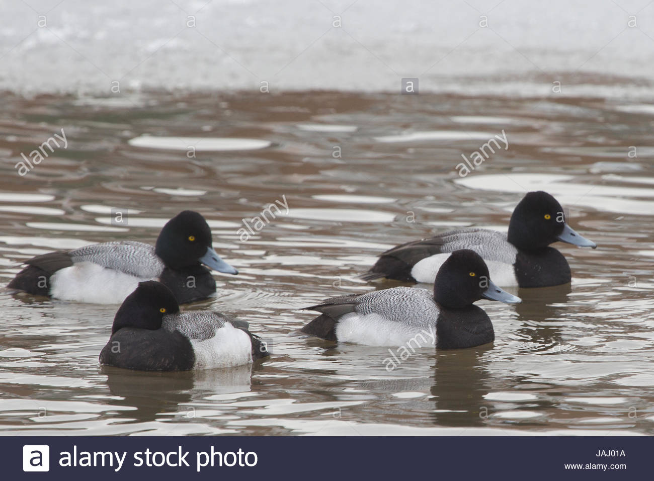 A group of lesser scaup ducks, Aythya affinis, swimming in a semi-frozen river. Stock Photo