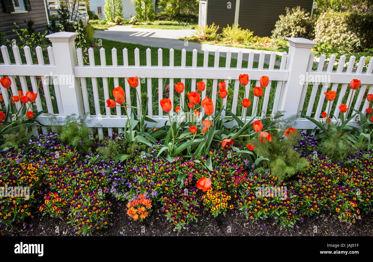 Orange Tulips In A Backyard Garden With A Picket Fence ...