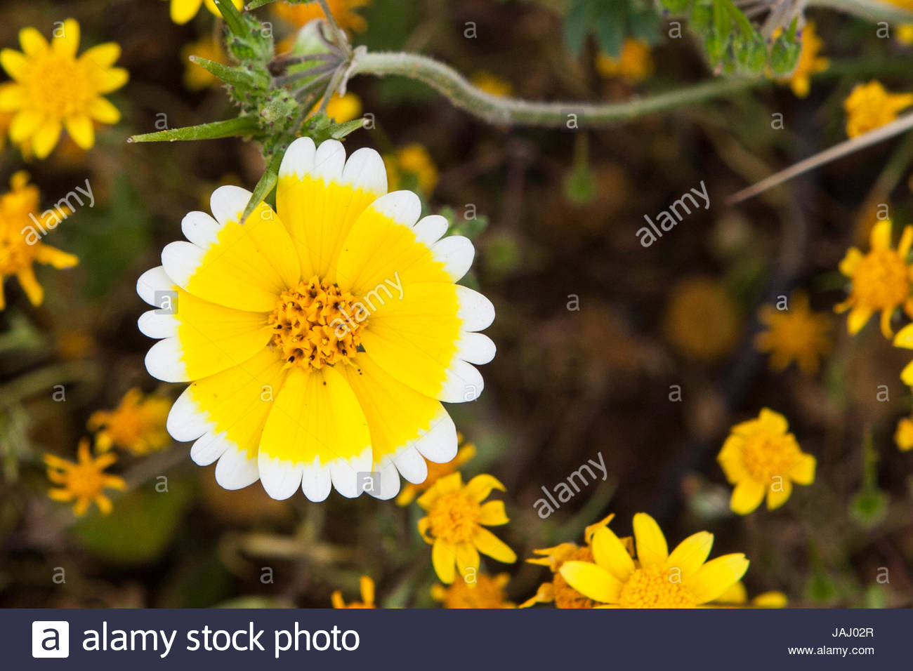 A tidy tip, Layia platyglossa, wildflower blossom in a field in Southern California. - Stock Image