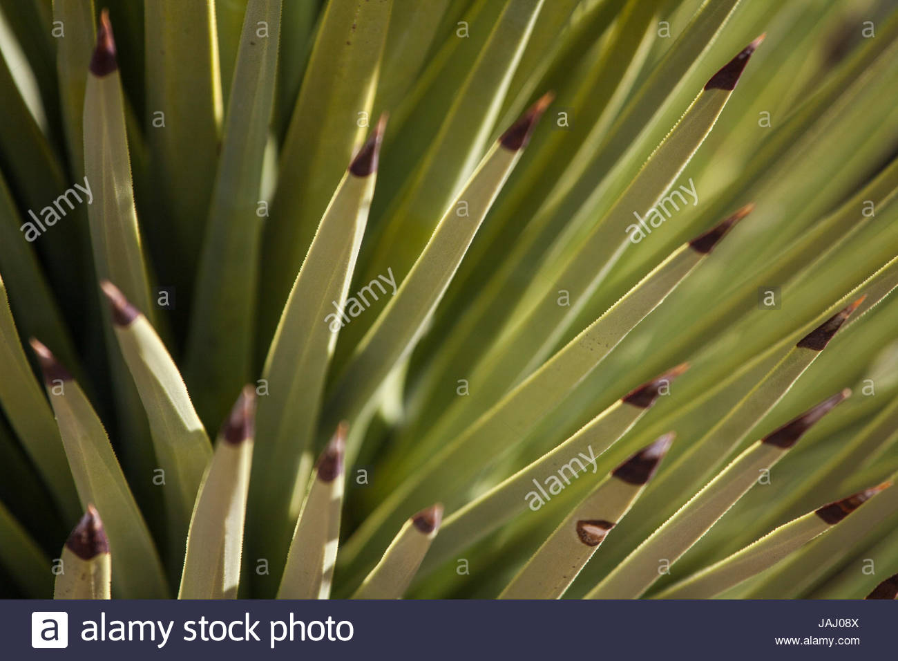 Close up of the blade-like leaves of a Joshua tree, Yucca brevifolia. - Stock Image
