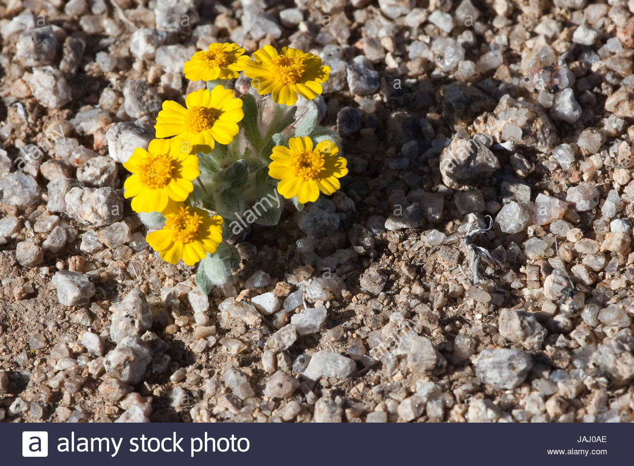 California goldfields, Lasthenia californica, blooming amid pebbles in Joshua Tree National Park. - Stock Image