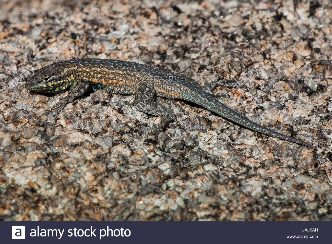 Portrait of a side-blotched lizard, Uta stansburiana, basking. - Stock Image