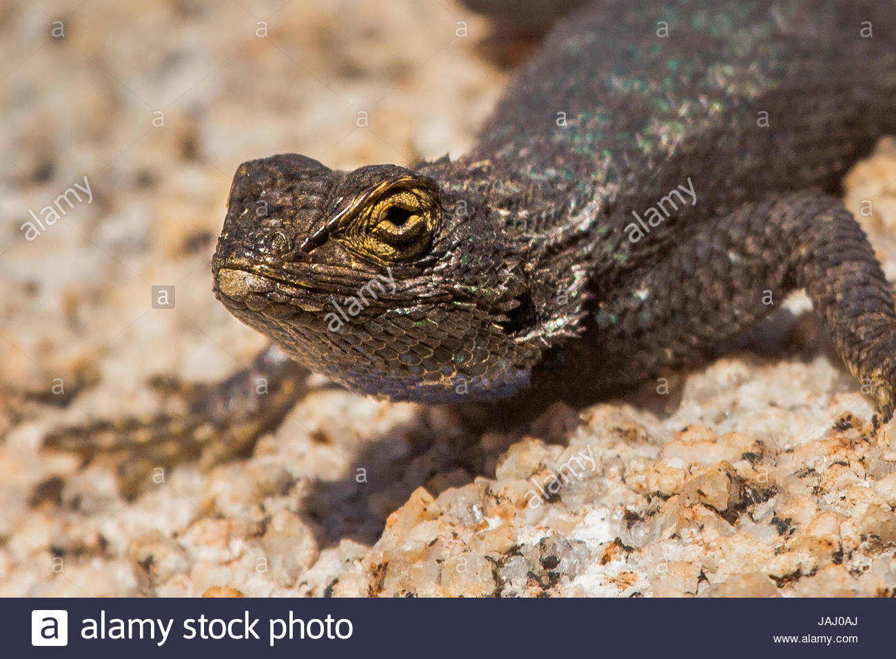 Close up of a western fence lizard, Sceloporus occidentalis, basking on a bolder. - Stock Image