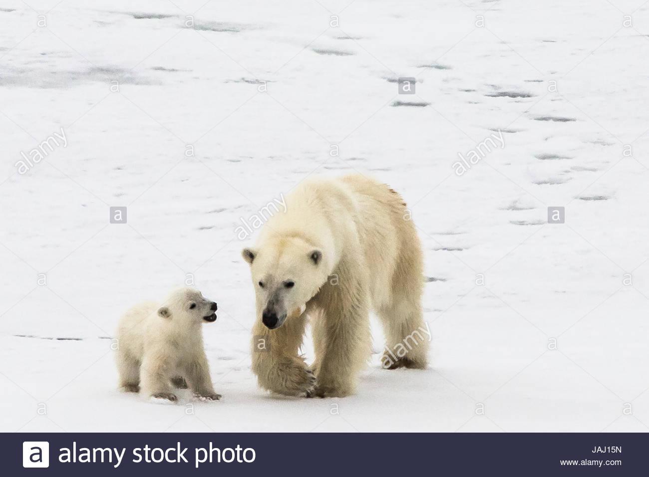 A polar bear, Ursus maritimus, and her cub. - Stock Image