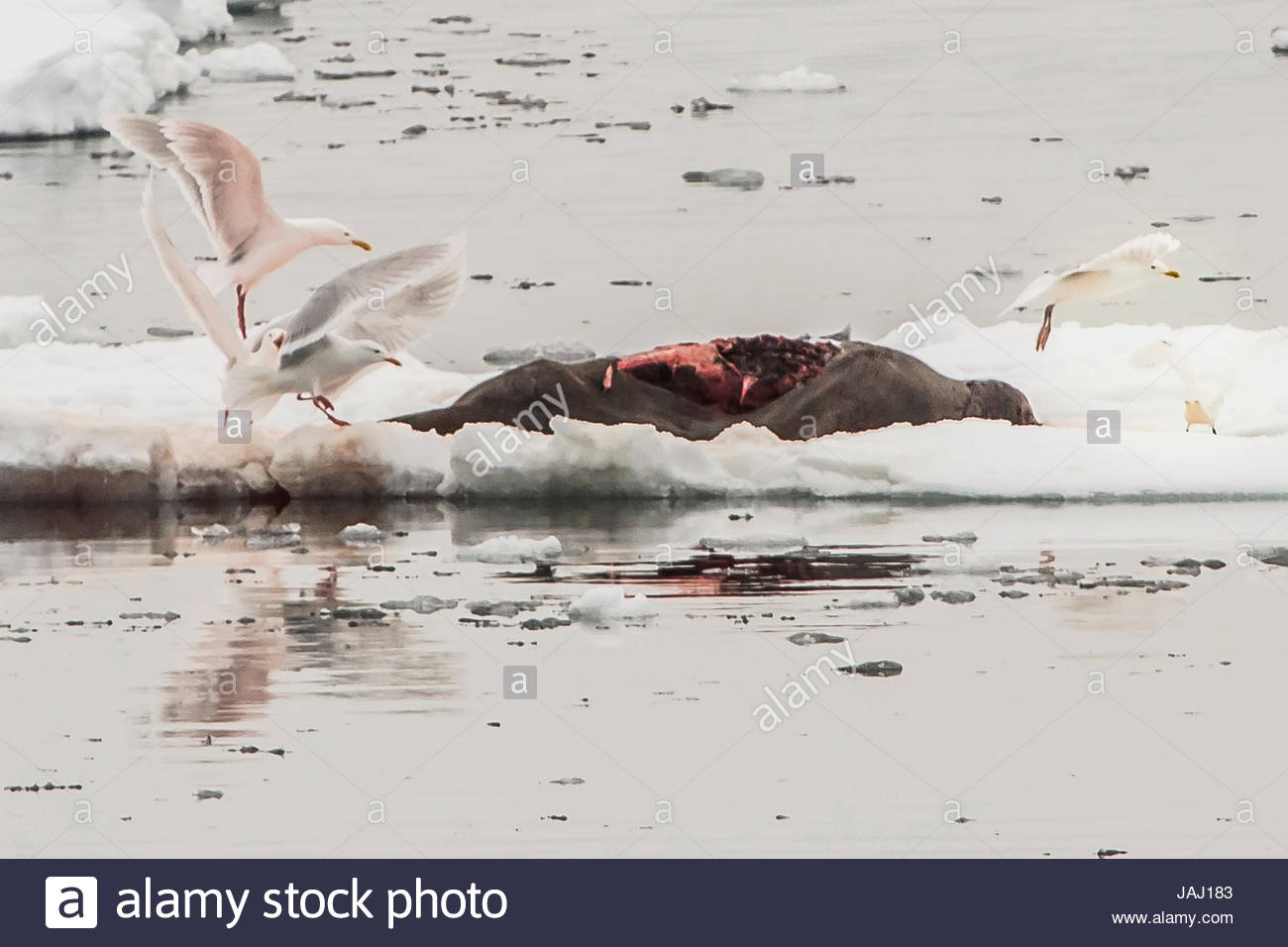 Glaucous gulls, Larus hyperboreus, scavenging a bearded seal carcass left by a polar bear. Stock Photo