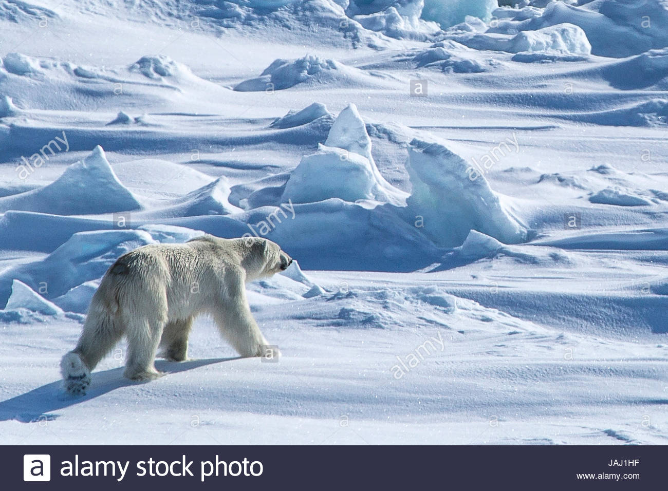 A polar bear, Ursus maritimus, on the pack ice in Hinlopenstretet. - Stock Image