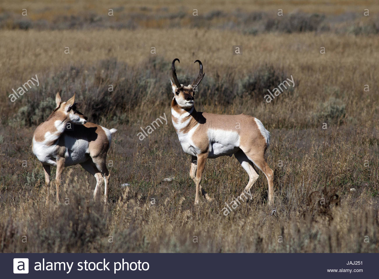 A pronghorn courtship display in a grass and scrub landscape. - Stock Image