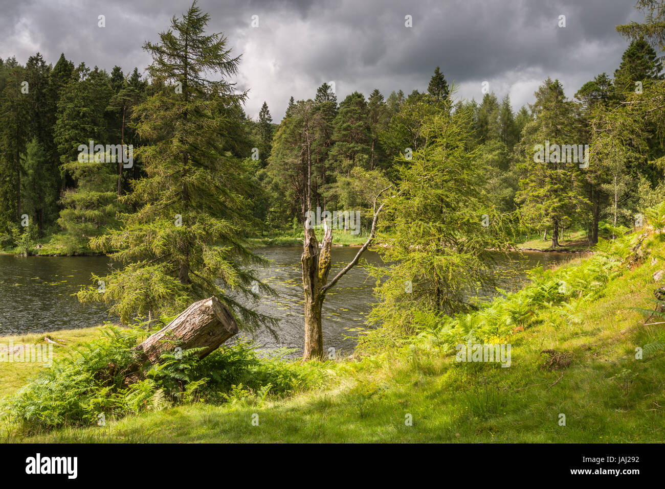 The summer daytime sunshine over the water,trees and banks of the Lake District visitor attraction of Tarn Hows - Stock Image