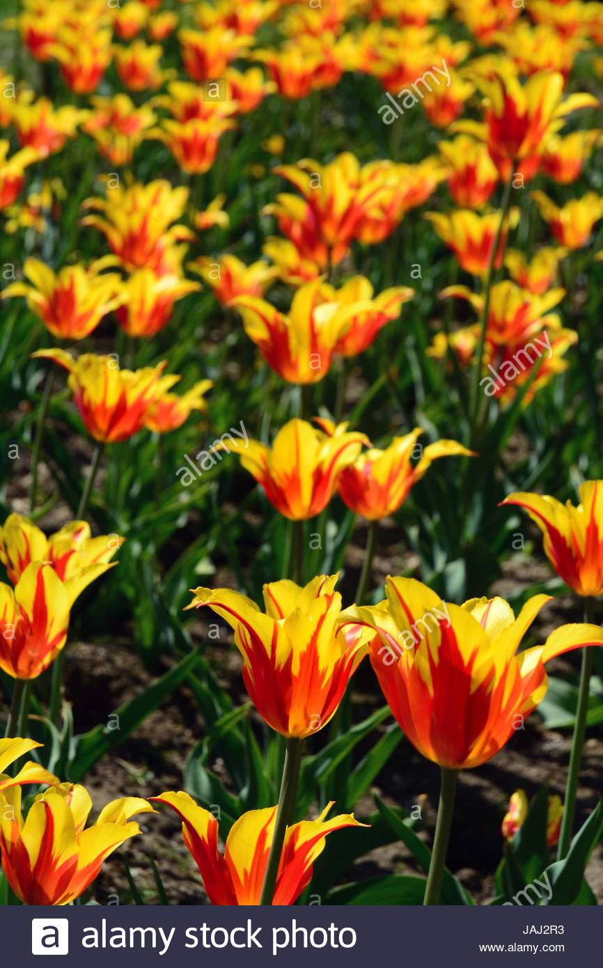 Red and yellow tulips in the Public Garden. - Stock Image
