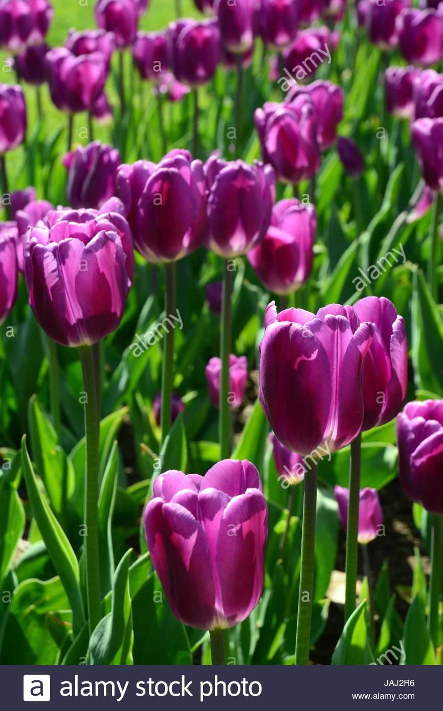 Purple tulips in the Public Garden in spring. - Stock Image