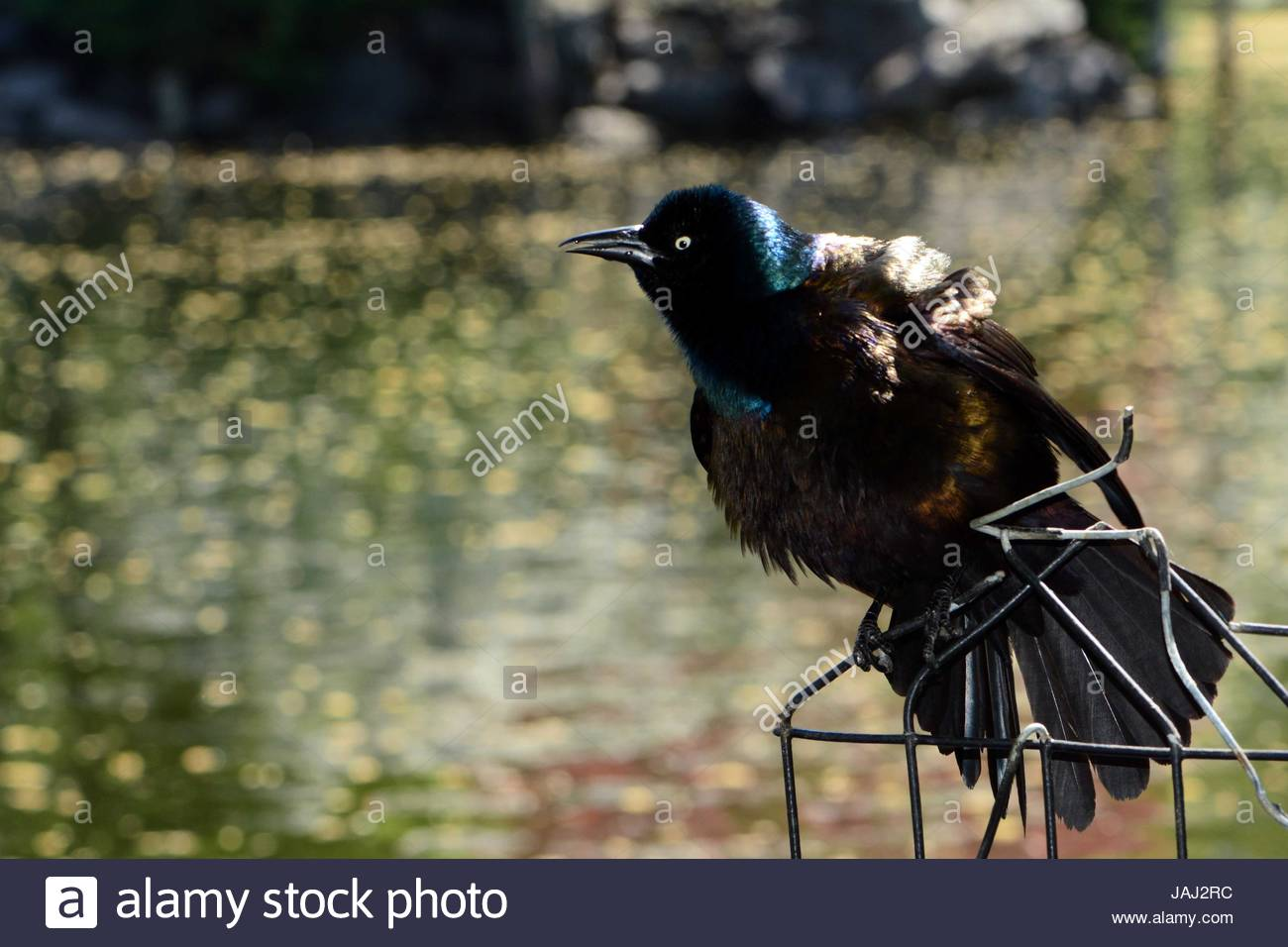 A male common grackle, Quiscalus quiscula, displaying from a wire perch. - Stock Image