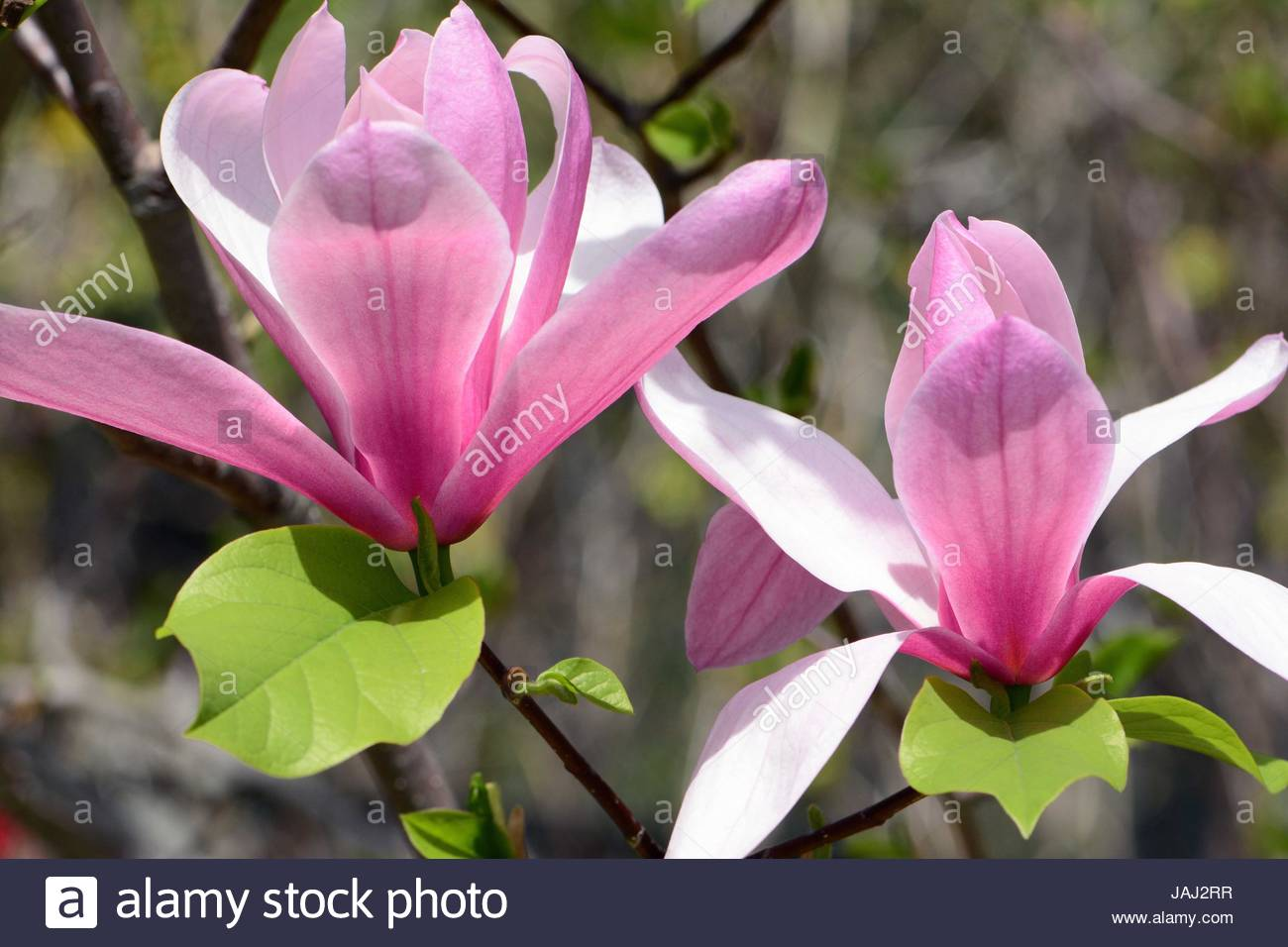 Two saucer magnolia flowers in springtime. - Stock Image